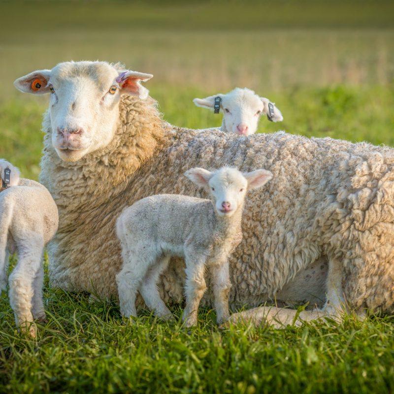 sheep and 3 lambs